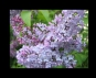 "Embedded thumbnail for Rachmaninoff: ""Lilacs"" Op. 21 No 5"